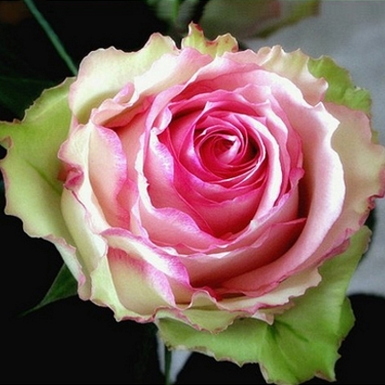 Pink-green roses