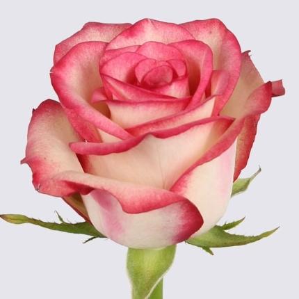 White-red roses